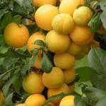 Алыча Колоновидная желтая