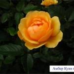 Амбер Куин