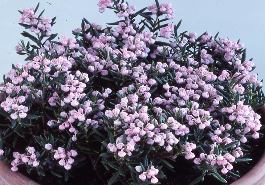 фото андромеда растение