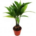 Бетелевая пальма, или арека катеху (лат. Areca catechu)