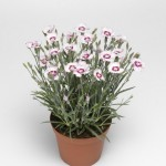 Гвозди́ка (лат. Dianthus-plumarius)