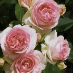 Эден Розе