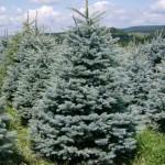 Ель Сербская (лат. Picea omorika)
