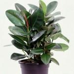 Фи́кус (лат. Ficus)