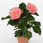 Гиби́скус кита́йский, или Кита́йская ро́за (лат. Hibiscus rosa-sinensis)