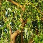 Ива (Salix) матсудана