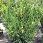 Можжевельник китайский (лат. Juniperus chinensis 'Variegata')