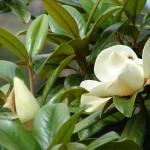 Магнолия крупноцветковая (лат. Magnolia grandiflora)