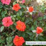 Оранжевая Симфония