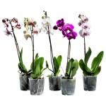 Орхи́дные, или Ятры́шниковые, также Орхиде́и (лат. Orchidáceae)