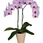 Фаленопсис (лат. Phalaenopsis)