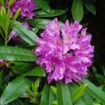 Рододéндрон (лат. Rhododéndron)