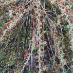 Ива альпийская (лат. Salix alpina)