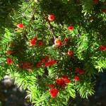 Тисс ягодный обыкновенный (лат. Taxus baccata 'Fastigiata Robusta')