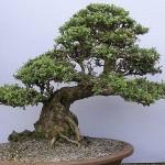 Бонса́й (яп. 盆栽 букв. «выращенное в подносе»)