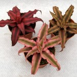 Криптантус (Cryptanthus)