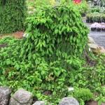 ель обыкновенная 'Инверса' (лат. Picea abies 'Inversa')