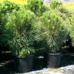 сосна горная 'Пумилио' (лат. Pinus mugo 'Pumilio')